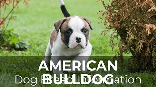 American Bulldog Dog Breed Information and Pictures  Chews A Puppy
