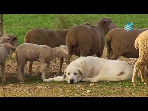 Cooperativa de corderos de la Comarca de Los Pedroches