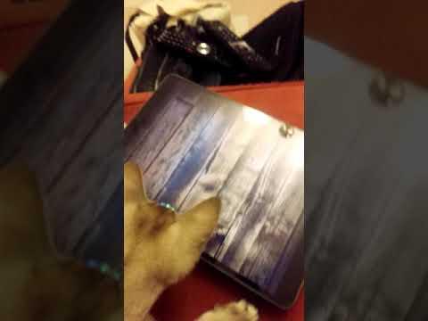 F2 Singapura kittens playing iPad game