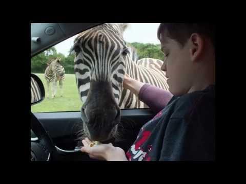 France - Planete Sauvage Safari near Nantes - The Zebra experience - Cory Taylor