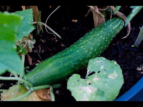 Japanese Cucumber Harvest