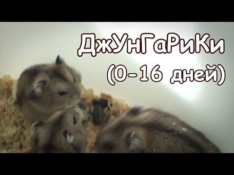 видео: Джунгарские хомячки (0-16 дней)