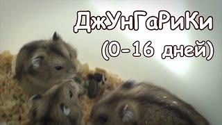 Джунгарские хомячки (0-16 дней)
