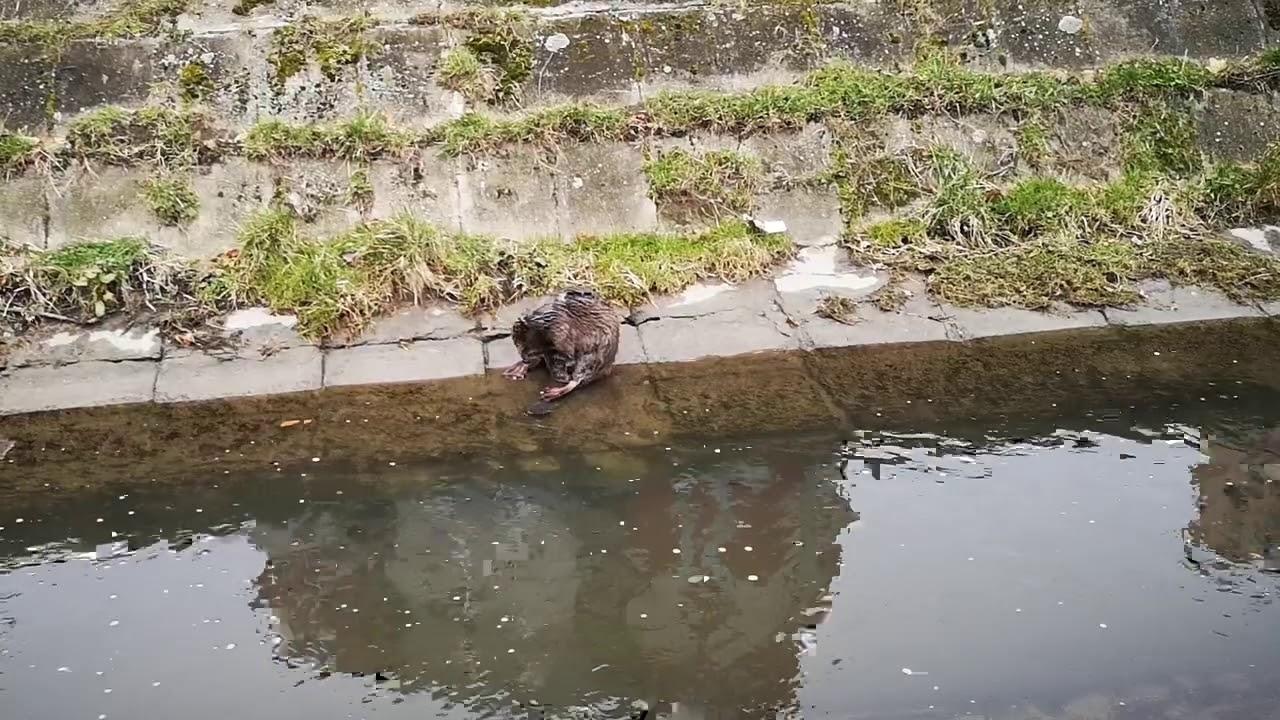 hód patak a férgektől lebontók paraziták