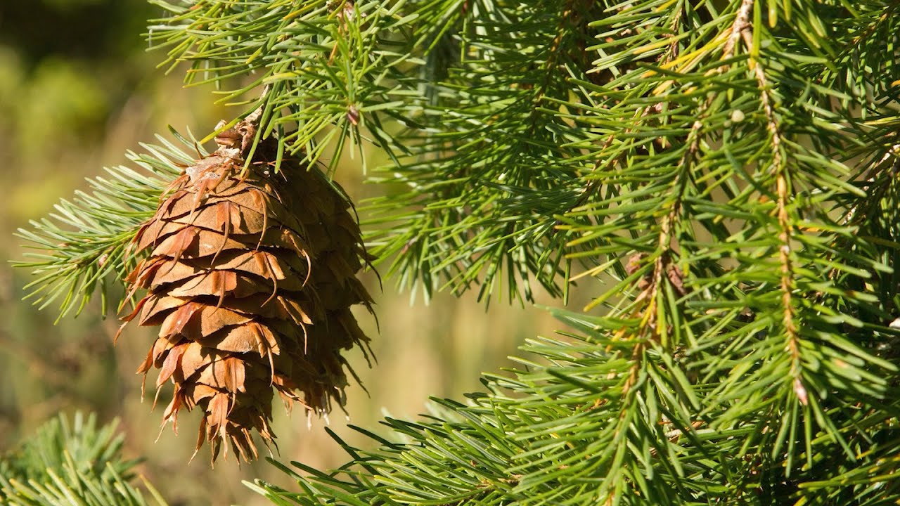 In addition, many people use trees for landscaping, so it's beneficial to know what species to look for wh. Great British Trees The Douglas Fir Youtube