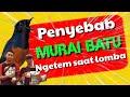Perawatan Murai Ngetem Saat Lomba  Mp3 - Mp4 Download