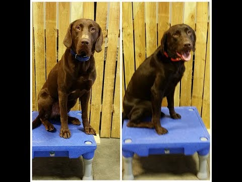 Siggy & Louie - Lab Training Omaha Nebraska, Best Dog Trainers in Nebraska