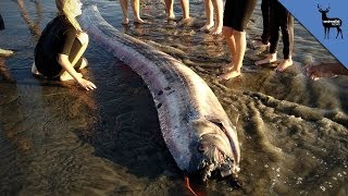 "Is The 2nd Oarfish The 2nd ""Discovery Of A Lifetime""?"