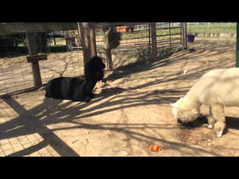 GMO:  EMU + Poodle Dog = Alpaca