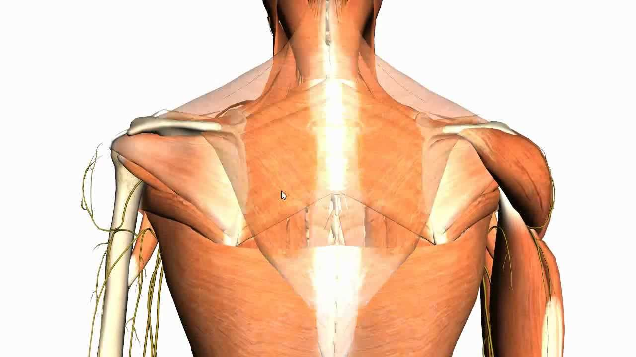 Extrinsic Muscles Of The Back Anatomy Tutorial Youtube