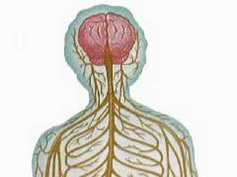 How The Body Works The Anatomy Of The Central Nervous Syst Youtube