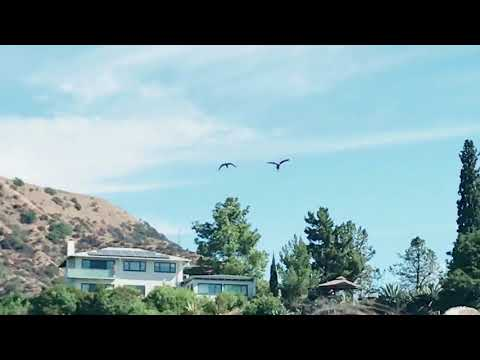 Scarlet Macaw and Cameo Macaw flying at Hollywood sign 9-25-17