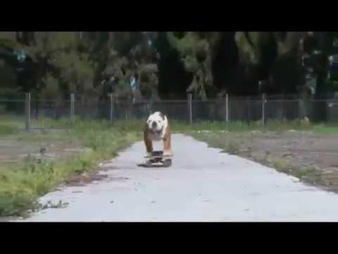 Surfin´ Bulldog (Beach Boys - Surfin´ USA)