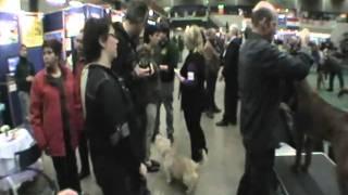 Irish Glen of Imaal Terrier. Laiquendi's Jillian Griffith James