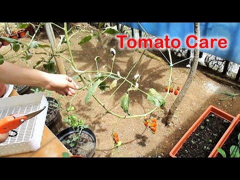 Trimming Down Indeterminate Tomatoes