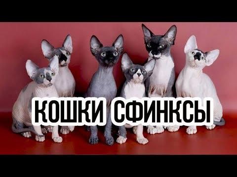 Кошки сфинксы / Интересные факты о кошках