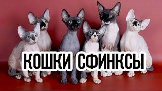 видео Описание породы Кошка Сфинкс, разновидности и фото питомцев