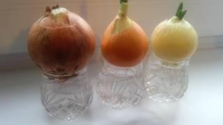 видео Как вырастить зеленый лук дома из луковицы в воде?