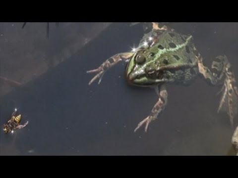 Feeding wasp to green frog