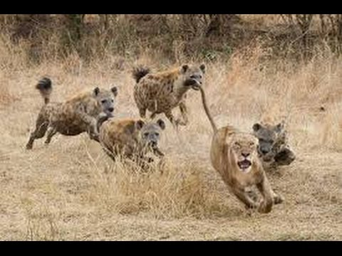 Hyena Kills And Eats Lion Youtube