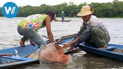 Arapaima, der Riesenfisch vom Amazonas (360° - GEO Reportage)