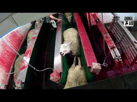 Inside the UK slaughterhouse where sheep have throats hacked at and animals are thrown