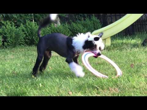 chinese crested dog  007