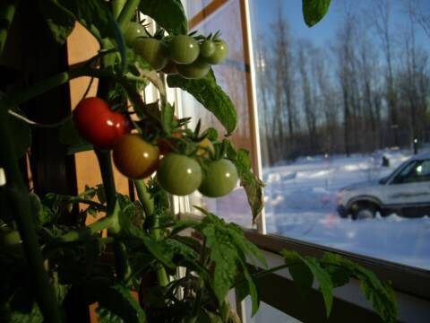 Grow a tomato plant indoors in winter youtube for What plants can i grow indoors