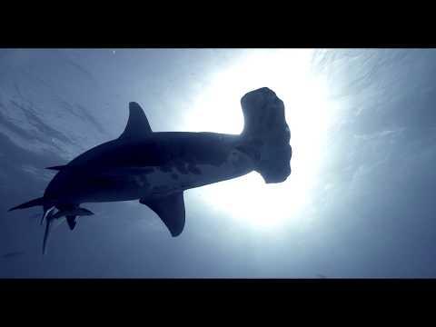 Dive Sharks Bahamas Tiger Beach. International Siena Awards, Ocean Geographic Honorable Mention