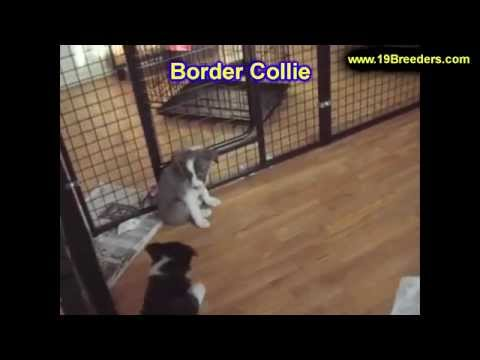 Border Collie, Puppies, Dogs, For Sale, In Jacksonville, Florida, FL, 19Breeders, Orlando