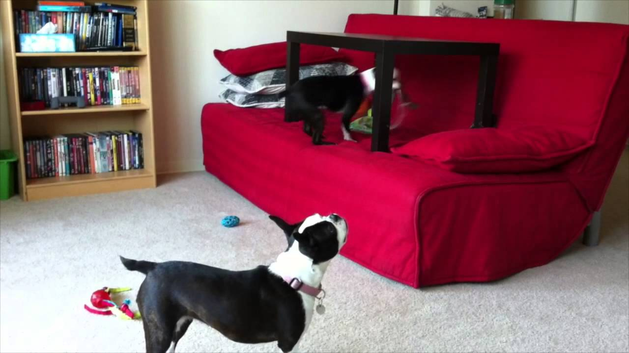 how to train a boston terrier not to jump