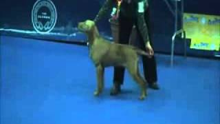 Leiborschy Yendah Sh CM  in Gundog Group Manchester Champ Show 2011.wmv