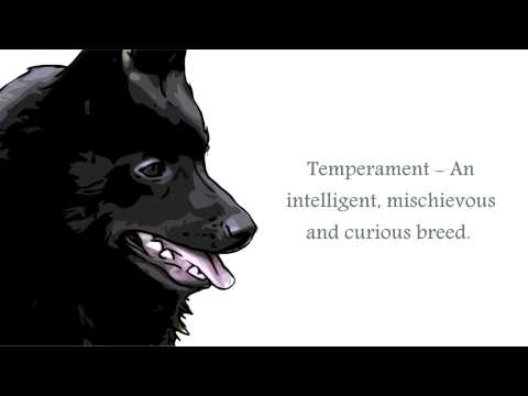 Schipperke Video