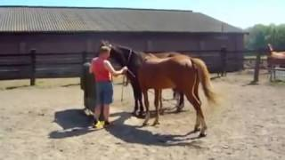 Repeat youtube video Rabiab horse Mating, Breeding Collection 2014   HORSE MATING   Excellent Mating Shots Pregnancy Conf