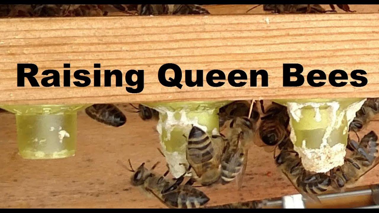 how to raise honey bee queens