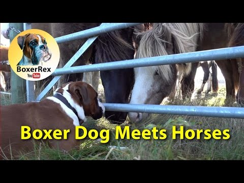 VERY CUTE Boxer Dog Meets Horses ❤️❤️❤️ (eng subtitle)
