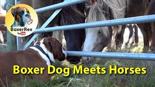 VERY CUTE Boxer Dog Meets Horses ❤❤❤ (eng subtitle)