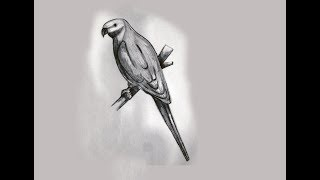 Parrot pencil sketch tips step by step By Indrajit Art school