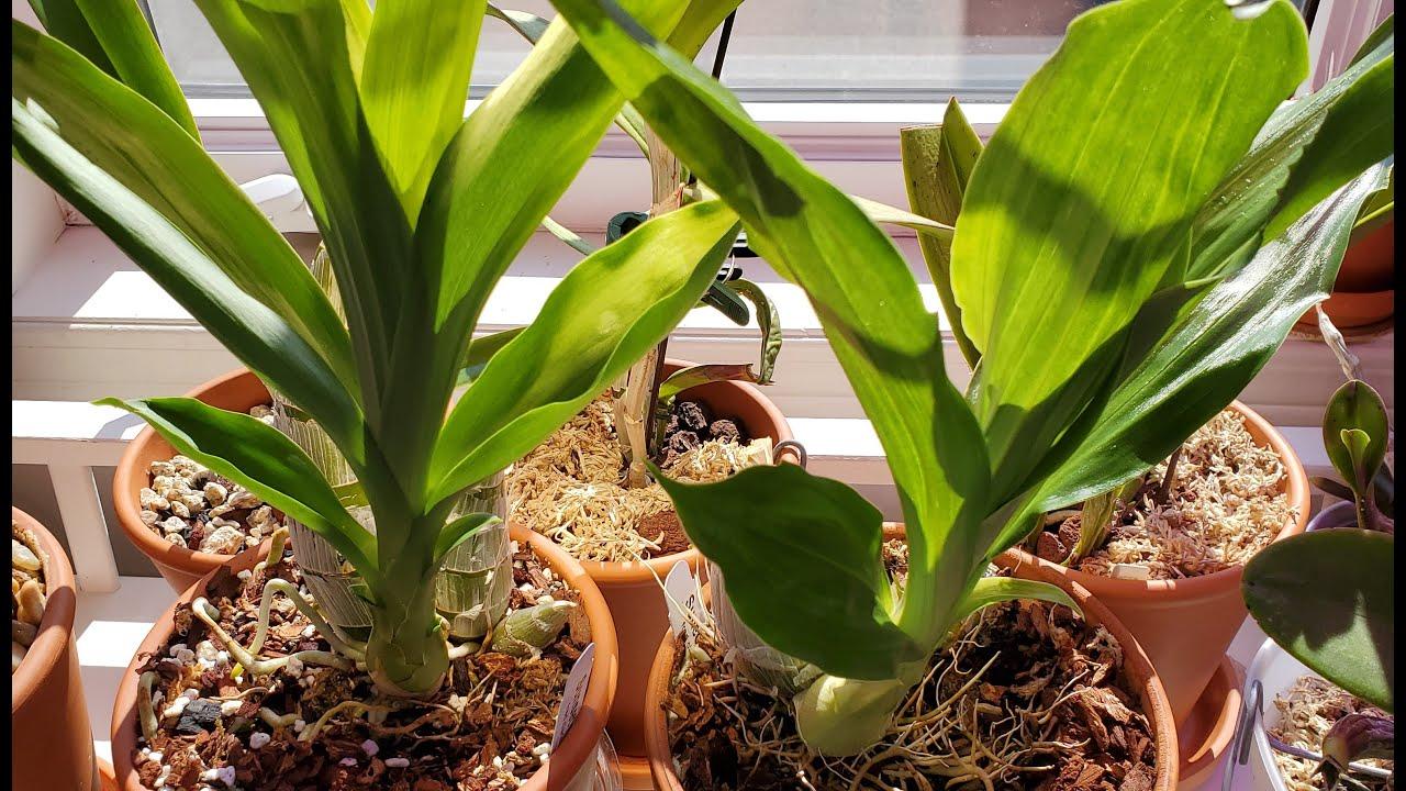 Орхидеи катасетумной группы в конце июня