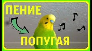 Как ПОЕТ попугай//Красивое пение попугая//Волнистый попугай поет