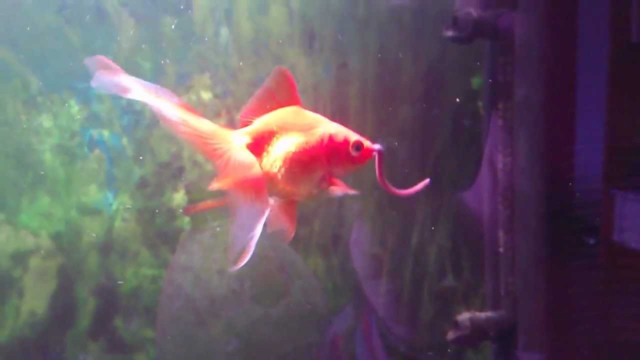 Goldfish comiendo una lombriz youtube for Alimento para goldfish