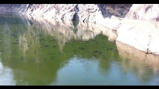 Red-bellied piranha(Kerala piranha) Fish Farming