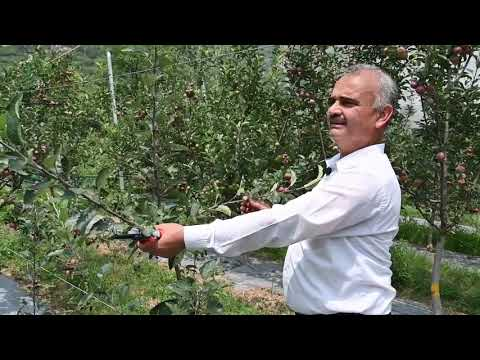 Summer Pruning tips in Apple  Dr YS Parmar University of Horticulture and Forestry, Nauni