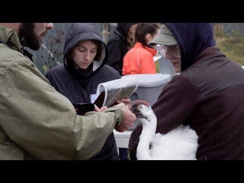 UW–Madison Veterinary Students helping cranes