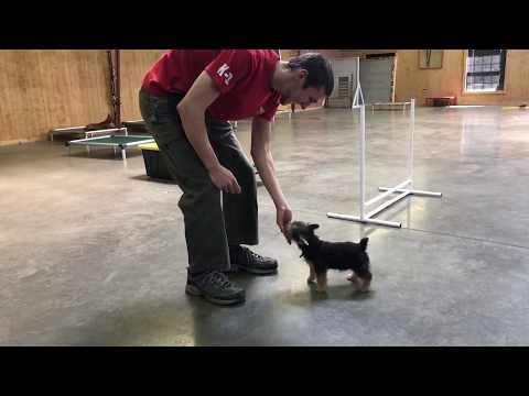 Norwich Terrier Puppy 'Norbert' 15 Wks Early Training & Development