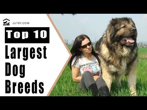 Biggest Dog In The World - Top 10 Largest Dog Breeds In The World