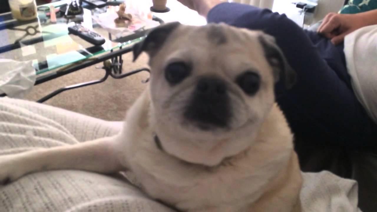 Chubby white pug can't bark! - YouTube