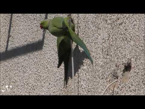 Ring-Necked Parakeet/ Попугаи гнездятся в отверстии для кондиционера