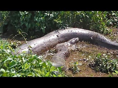 É DE ASSUSTAR: Seis cobras gigantes capturadas no Brasil; vídeo