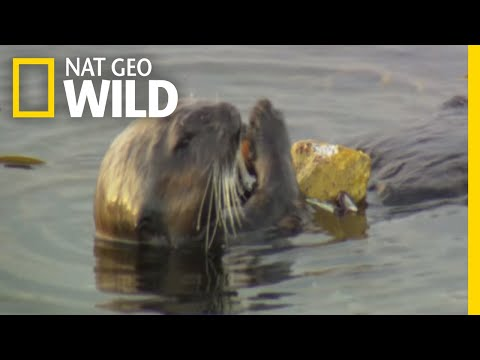 Sea Otters and Their Kitchen Tools | Nature Tech